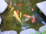 Huge fish in the pond outside Yatsurugi Shrine.