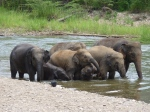 Family of elephants going into the river to wash.